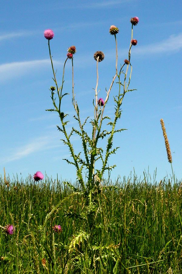 Musk Thistle In Field
